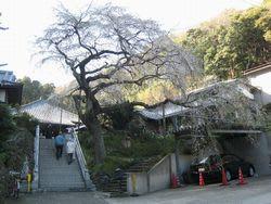 等覚寺の枝垂桜