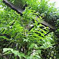 2011-5-30-2 ツル性植物