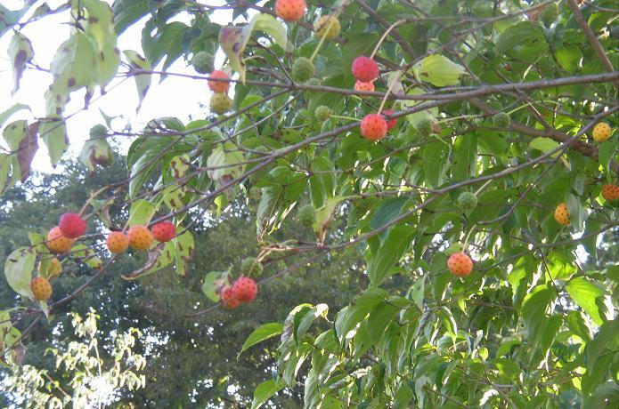 """クリックしてね! """"春"""" 白い花を付けたヤマボウシ 秋になって赤い実をつけました。私は、..."""