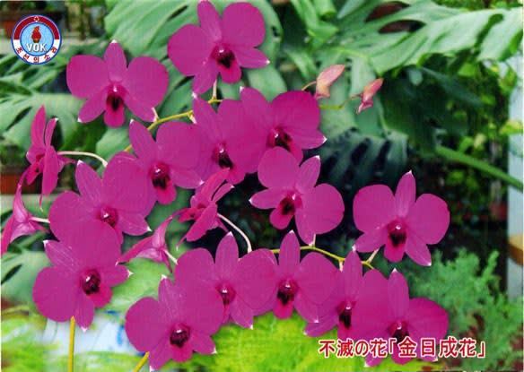 金日成花の画像 p1_10