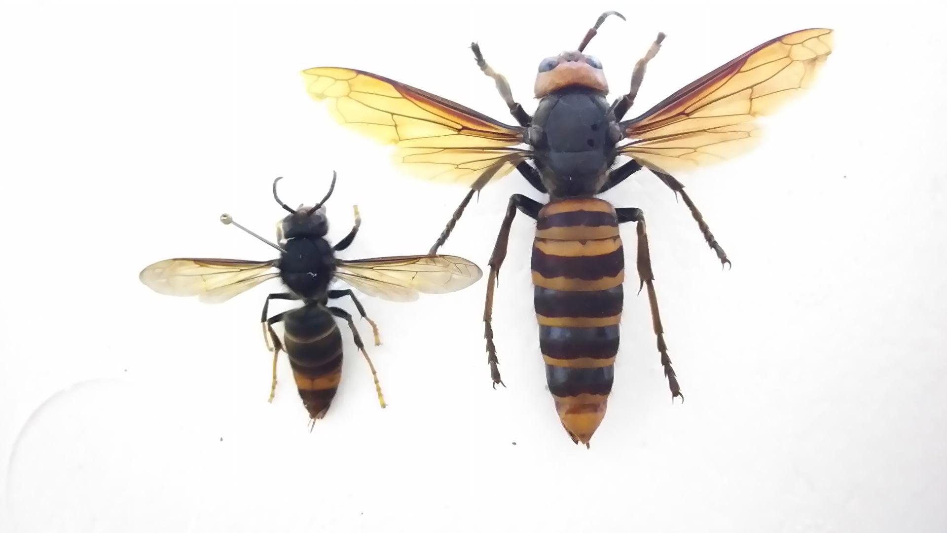 ツマアカスズメバチ~対馬にオオ...