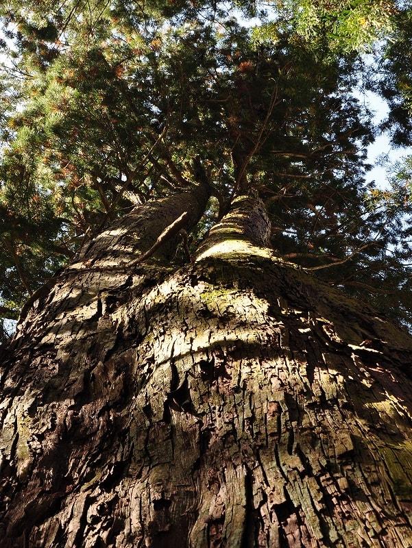川合天水分神社の大杉