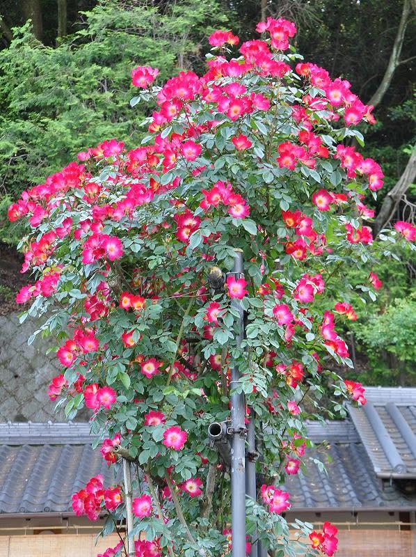 松尾寺のバラ