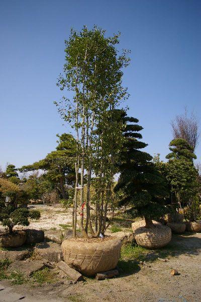 シンボルツリー・ソヨゴ