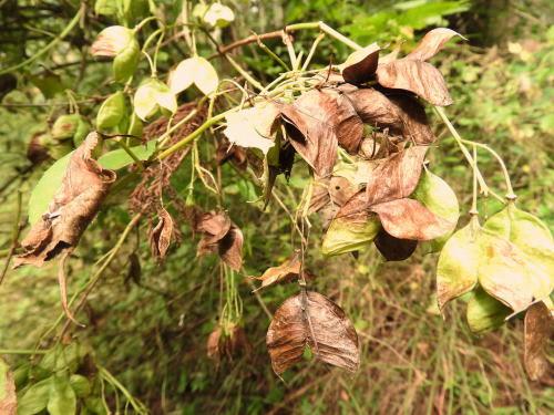 高ボッチ高原・鉢伏山で最近見る事の出来る実・種 ミツバウツギ(三葉空木)