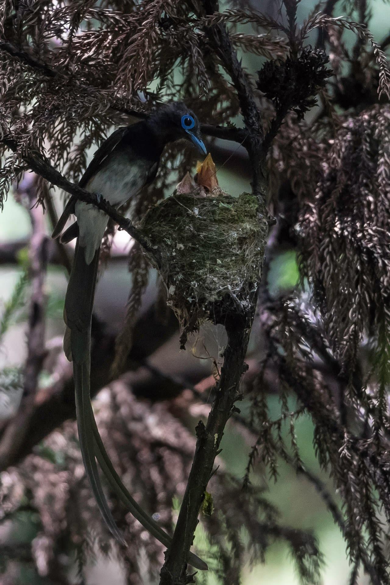 サンコウチョウの画像 p1_28