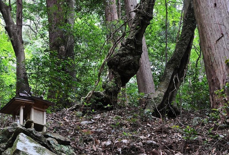 津風呂神社本殿横のサカキカズラ