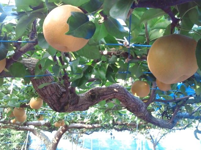 梨畑でバーベキュー