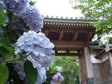紫陽花咲く林溪寺とお誕生日会