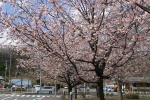 伊豆高原桜まつり・ステージ1