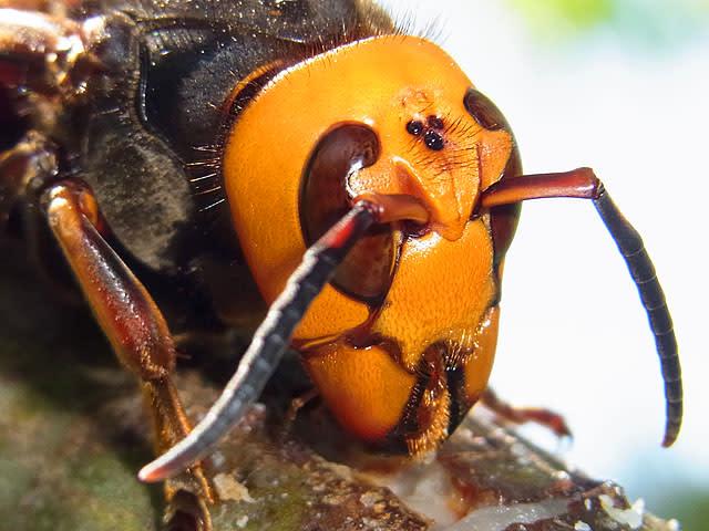 スズメバチの画像 p1_28