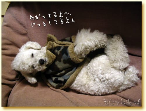 トイプードル・ジョーのブログ写真