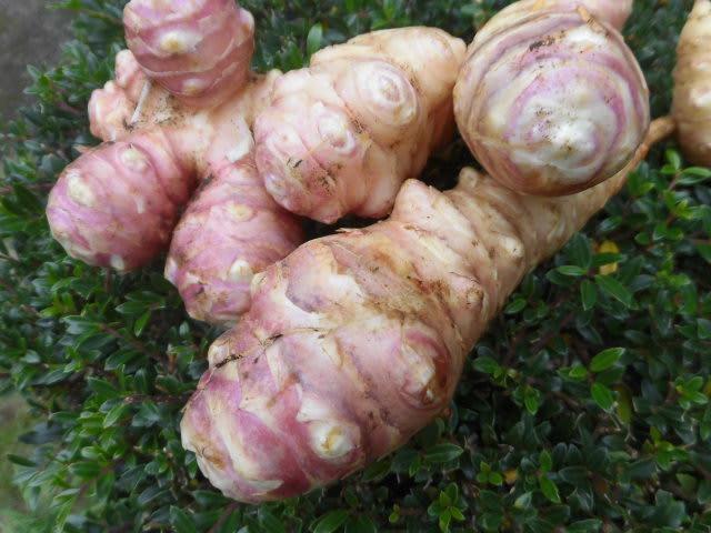赤菊芋(赤キクイモ)~<菊芋の品種別食感の違 …