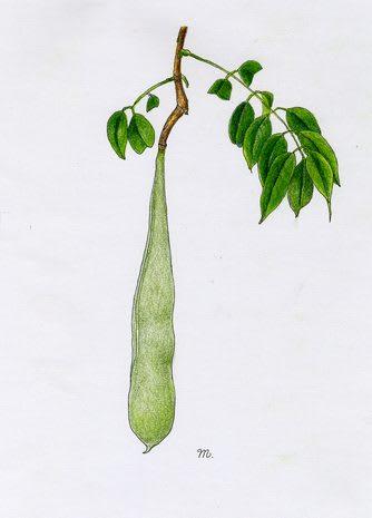 フジ (植物)の画像 p1_39