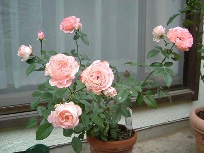 ホワイト・ピーチ・オベーション - Haruの庭の花日記 Haru's Garden