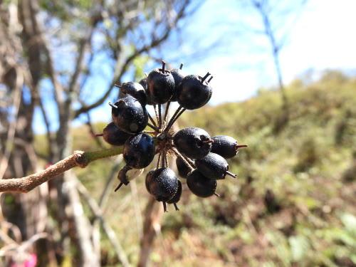 高ボッチ高原・鉢伏山で最近見る事の出来る実・種 ケヤマウコギ(毛山五加)