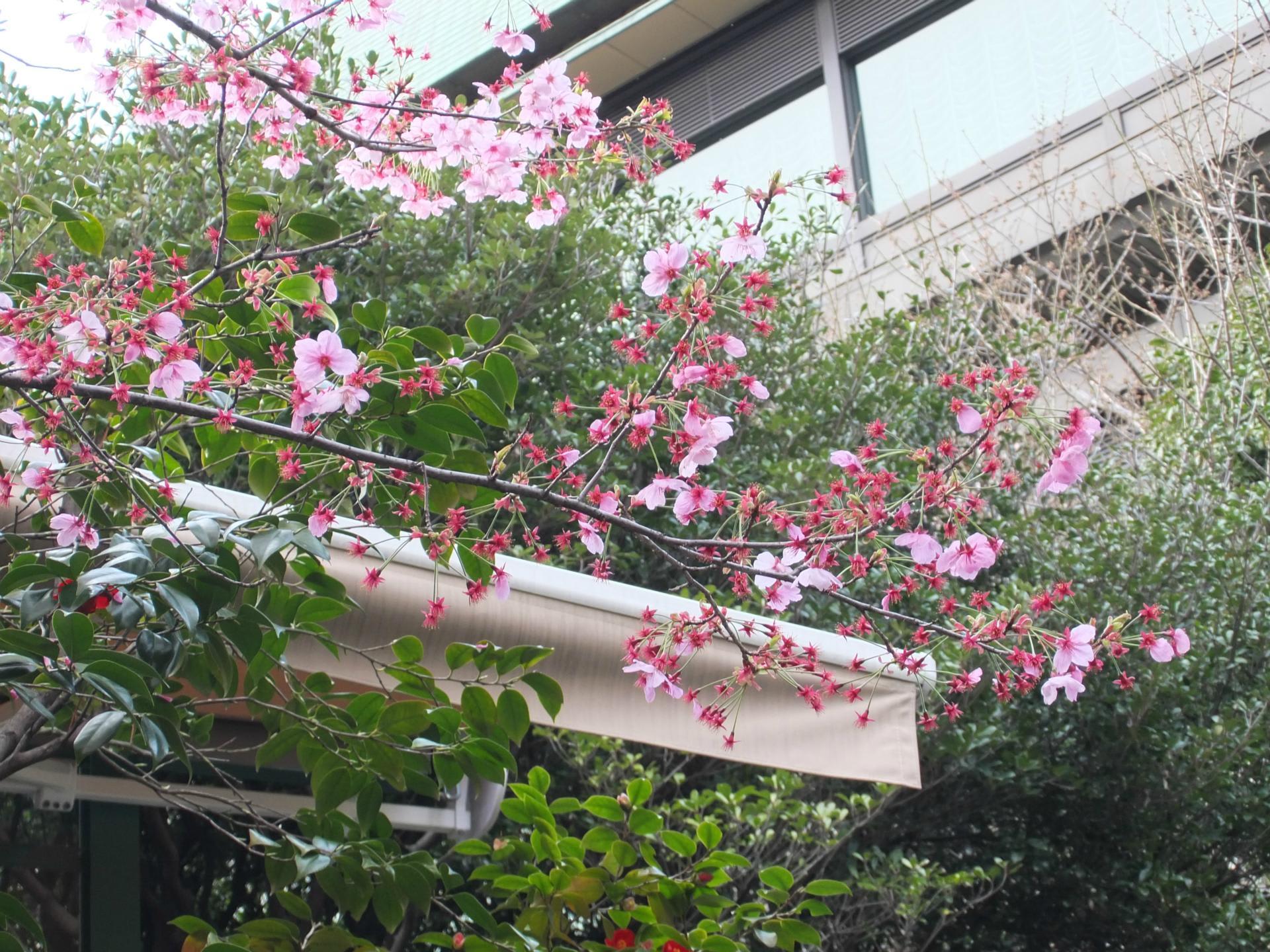 再び陽光桜です。桜の撮影には ...