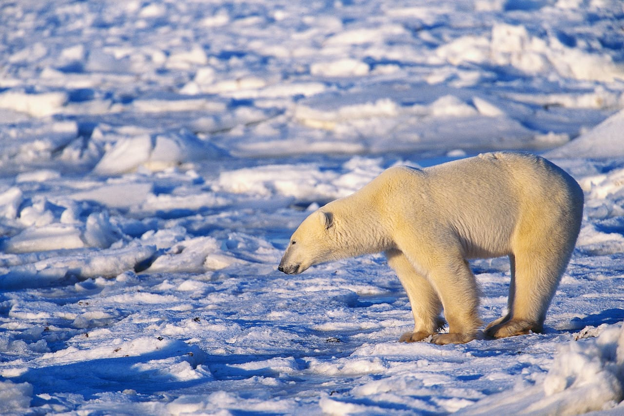 essay on polar bears and global warming Essays on polar bears we have a study on the effect of climate change/ global warming on the polar bear and its surroundings and what the future holds.