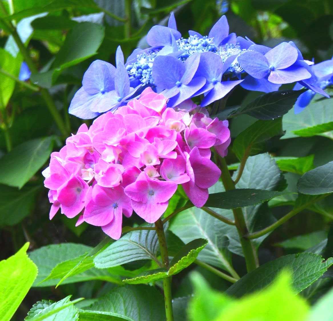 2014 06 30 紫陽花のころ【わたしの里・日記】
