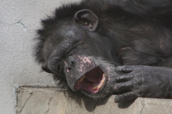 あくびをするチンパンジー