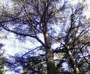 レバノンスギの画像 p1_35