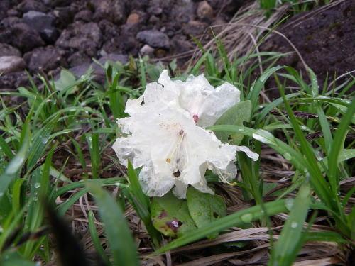 キバナシャクナゲ(黄花石楠花)
