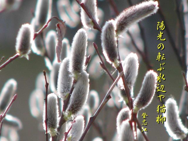 陽光の転ぶ水辺や猫柳 (ようこうの まろぶみずべや ねこやなぎ) 春光...  としの写真と俳句
