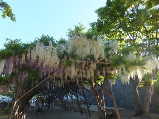 五稜郭公園の藤(2013年6月13日)
