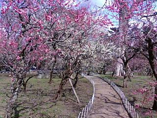 北野天満宮の梅苑に来ています。