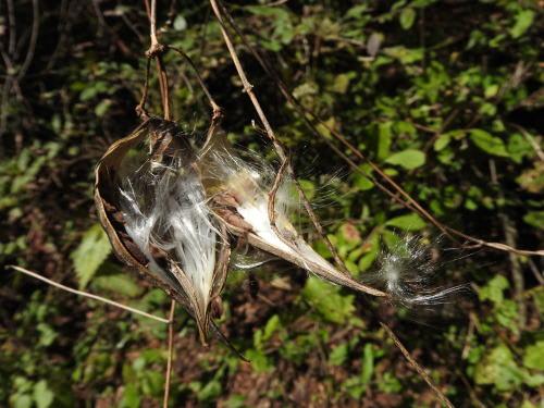 高ボッチ高原・鉢伏山で最近見る事の出来る実・種 イケマ(牛皮消)