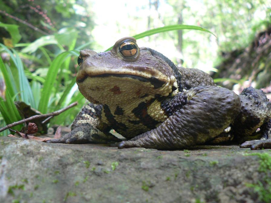 ニホンヒキガエルの画像 p1_37
