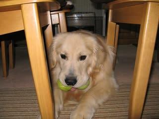 大好きなテニスボールを二つ咥えて、お多福さんになってます(笑)