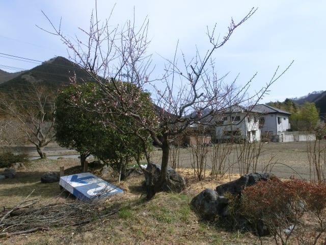 里の梅の木