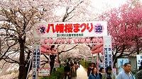 八幡桜まつり