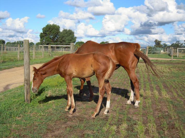 放牧地で草を食べる仔馬の写真