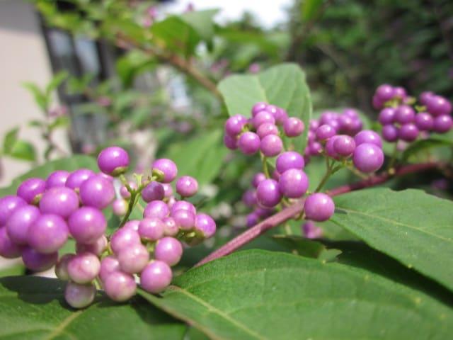 紫式部 の 写真