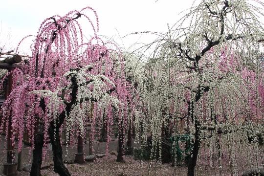 しだれ梅の名所・「結城神社」を訪ねる - 古寺巡礼日記