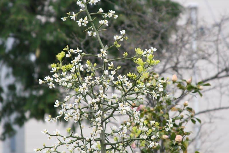 カラタチの画像 p1_28