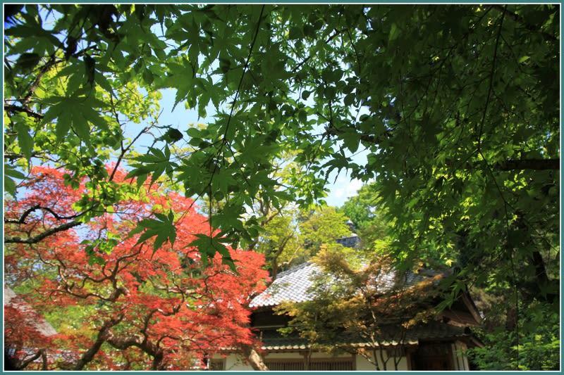 鎌倉・浄智寺の白雲木&若葉 ...