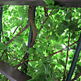 2011-7-1-14 ツル性植物