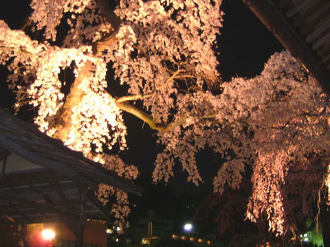 善福寺の夜桜