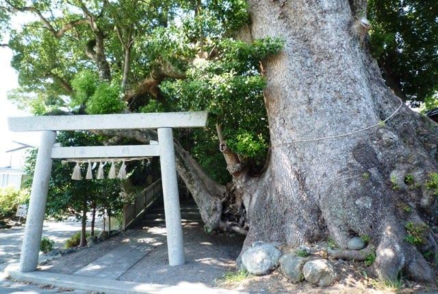 鳥居を潜った右に、「ウロ」のある御神木の巨株