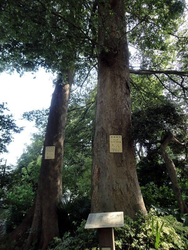06月29日 むくの木