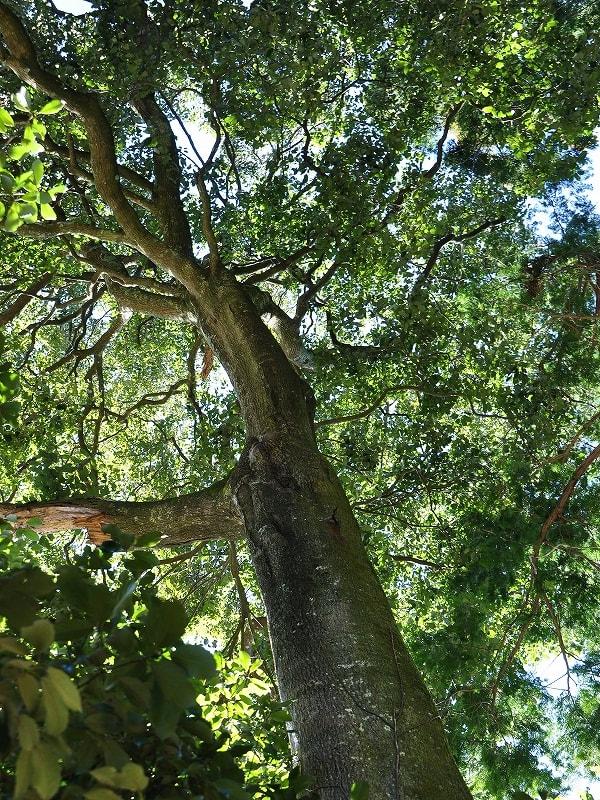 鵜山菩提樹幹