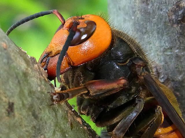 スズメバチの画像 p1_25