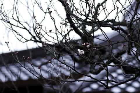 林渓寺の白梅