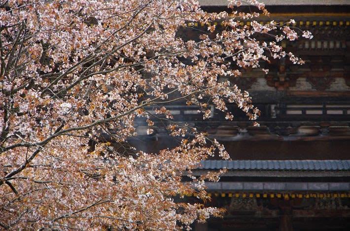 吉野・蔵王堂の桜