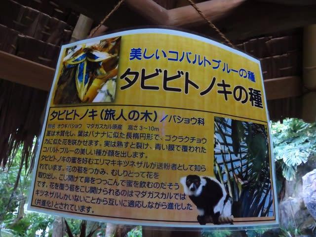 タビビトノキ(種)