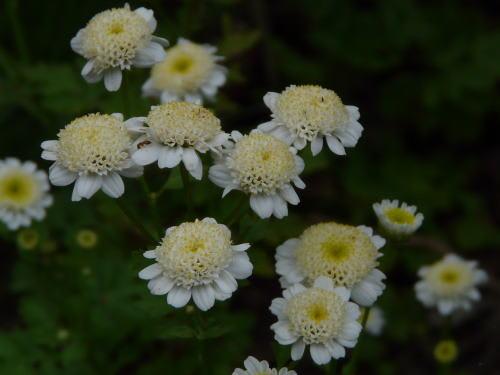 ナツシロギク(夏白菊)
