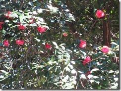 ⑦椿の花が咲いていました。